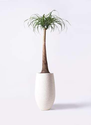 観葉植物 トックリラン ポニーテール 8号 フォンティーヌトール 白 付き