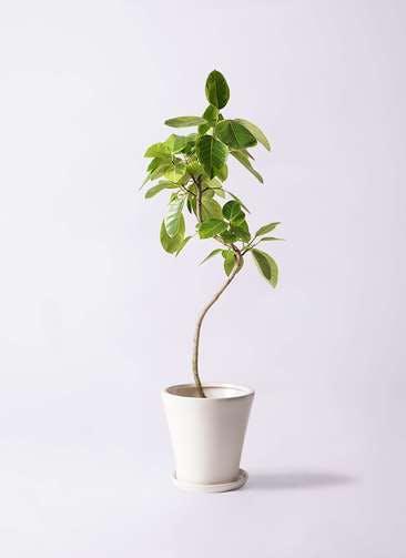 観葉植物 フィカス アルテシーマ 8号 曲り サブリナ 白 付き