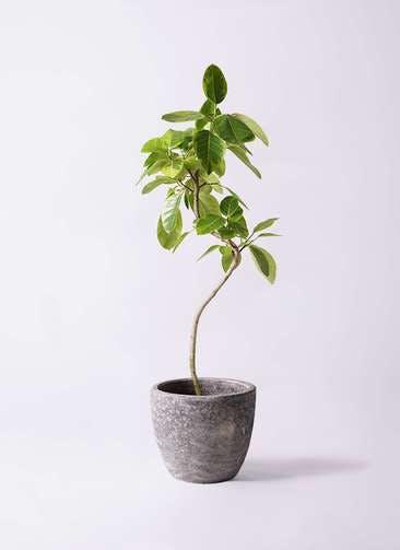 観葉植物 フィカス アルテシーマ 8号 曲り アビスソニアミドル 灰 付き