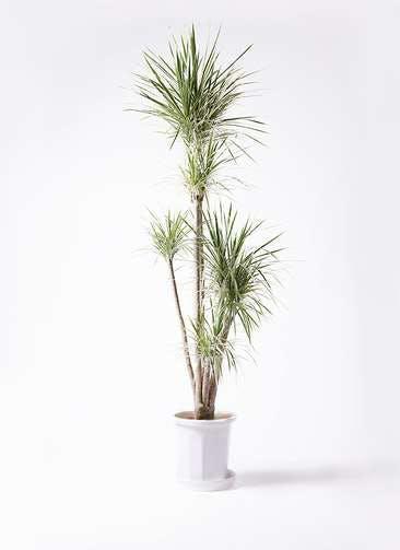 観葉植物 コンシンネ ホワイポリー 10号 ストレート プラスチック鉢