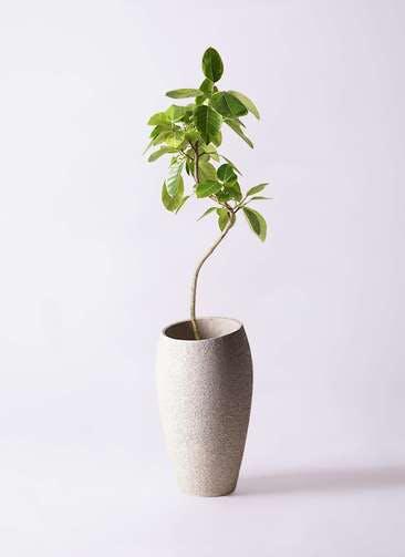 観葉植物 フィカス アルテシーマ 8号 曲り エコストーントールタイプ Light Gray 付き