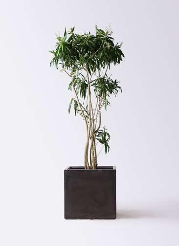 観葉植物 ドラセナ ソング オブ ジャマイカ 10号 ファイバークレイ キューブ 付き