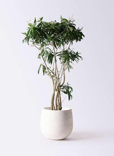観葉植物 ドラセナ ソング オブ ジャマイカ 10号 エコストーンwhite 付き