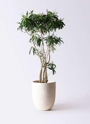 観葉植物 ドラセナ ソング オブ ジャマイカ 10号 ビアスアルトエッグ 白 付き