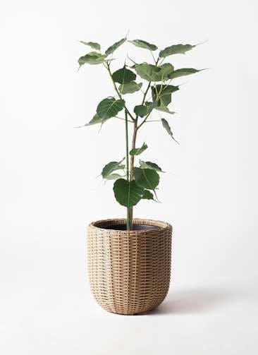 観葉植物 インドボダイジュ 8号 ウィッカーポットエッグ ベージュ 付き
