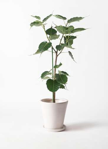 観葉植物 インドボダイジュ 8号 サブリナ 白 付き