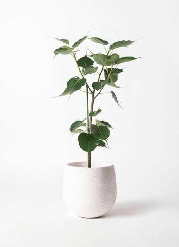 観葉植物 インドボダイジュ 8号 エコストーンwhite 付き