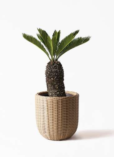 観葉植物 ソテツ 8号 ウィッカーポットエッグ ベージュ 付き