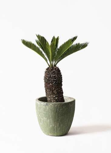 観葉植物 ソテツ 8号 アビスソニアミドル 緑 付き