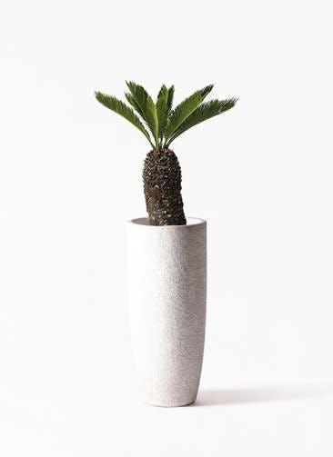 観葉植物 ソテツ 8号 エコストーントールタイプ white 付き