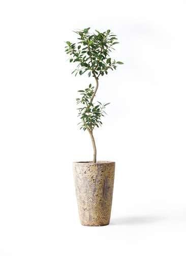 観葉植物 フランスゴムの木 8号 曲り アトランティス クルーシブル 付き