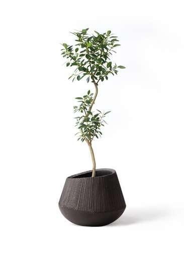 観葉植物 フランスゴムの木 8号 曲り エディラウンド 黒 付き
