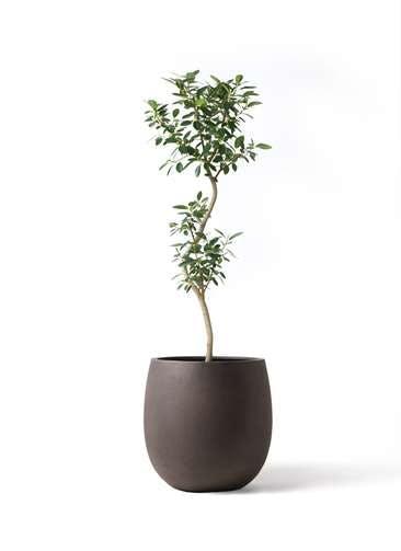 観葉植物 フランスゴムの木 8号 曲り テラニアス バルーン アンティークブラウン 付き