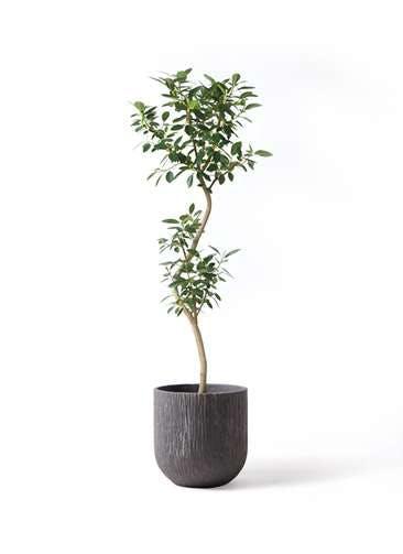 観葉植物 フランスゴムの木 8号 曲り カルディナダークグレイ 付き