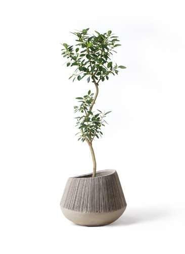 観葉植物 フランスゴムの木 8号 曲り エディラウンド グレイ 付き