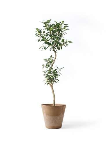 観葉植物 フランスゴムの木 8号 曲り アートストーン ラウンド ベージュ 付き