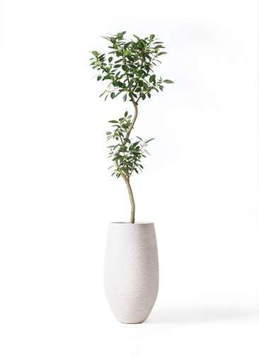 観葉植物 フランスゴムの木 8号 曲り フォンティーヌトール 白 付き