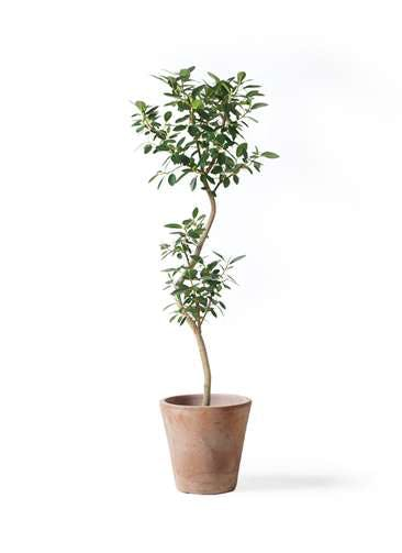 観葉植物 フランスゴムの木 8号 曲り ルーガ アンティコ ソリッド 付き