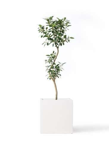 観葉植物 フランスゴムの木 8号 曲り バスク キューブ 付き