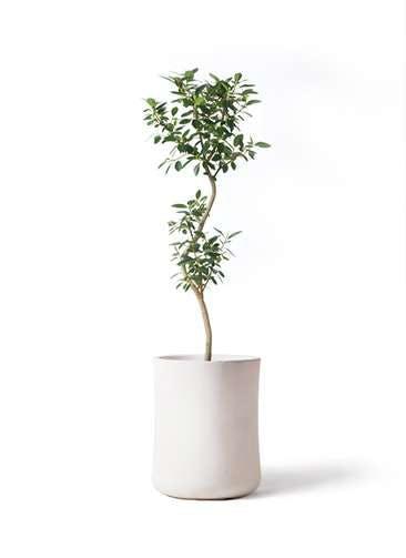 観葉植物 フランスゴムの木 8号 曲り バスク ミドル ホワイト 付き