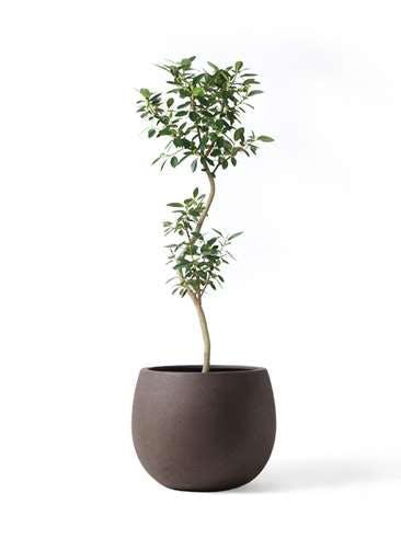 観葉植物 フランスゴムの木 8号 曲り テラニアス ローバルーン アンティークブラウン 付き
