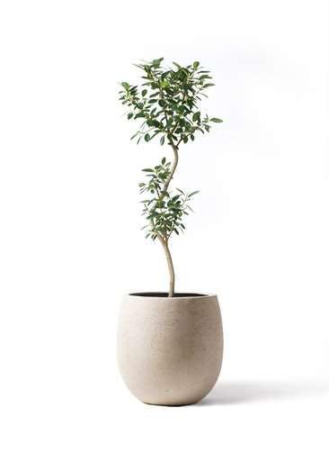 観葉植物 フランスゴムの木 8号 曲り テラニアス バルーン アンティークホワイト 付き