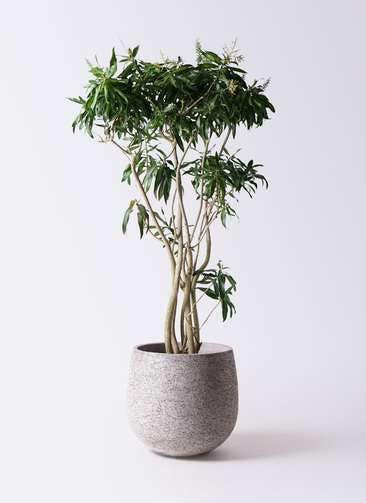 観葉植物 ドラセナ ソング オブ ジャマイカ 10号 エコストーンGray 付き