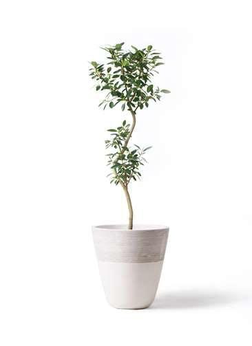 観葉植物 フランスゴムの木 8号 曲り ジュピター 白 付き