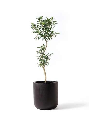 観葉植物 フランスゴムの木 8号 曲り エルバ 黒 付き