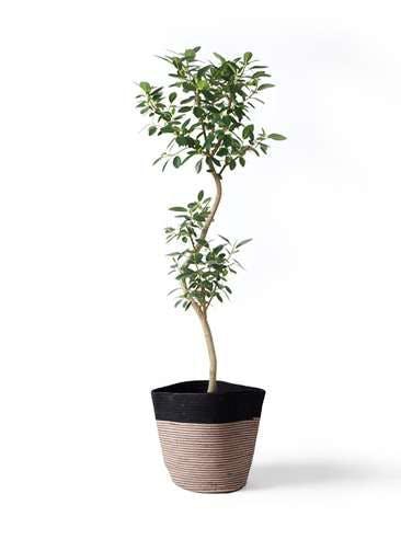 観葉植物 フランスゴムの木 8号 曲り リブバスケットNatural and Black 付き