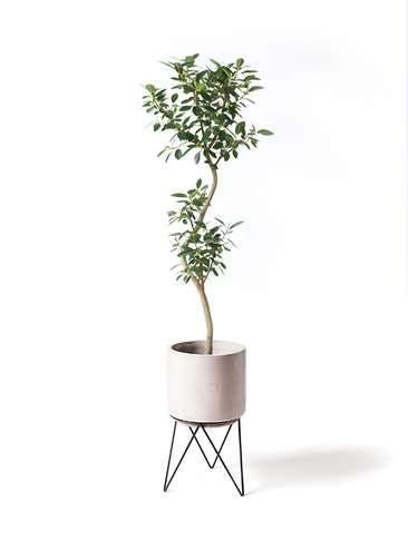 観葉植物 フランスゴムの木 8号 曲り ビトロ エンデカ クリーム アイアンポットスタンド ブラック 付き