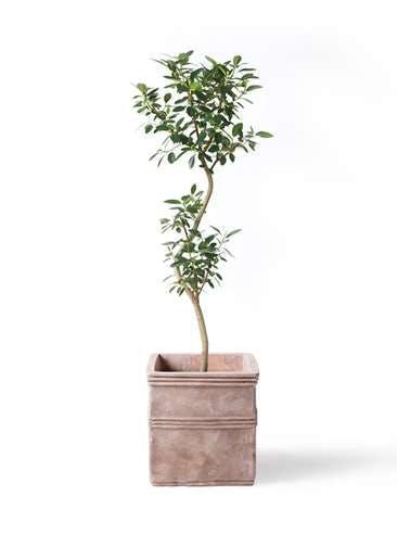 観葉植物 フランスゴムの木 8号 曲り テラアストラ カペラキュビ 赤茶色 付き