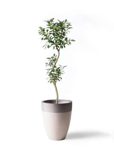観葉植物 フランスゴムの木 8号 曲り ファイバーストーンカプリ サンディホワイト 付き