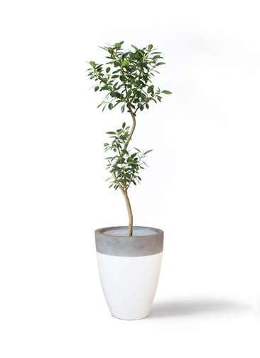 観葉植物 フランスゴムの木 8号 曲り ファイバーストーンカプリ 白 付き