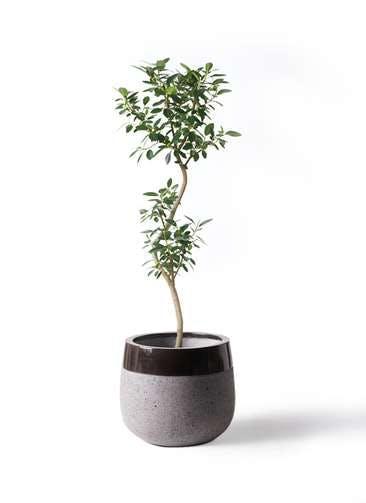 観葉植物 フランスゴムの木 8号 曲り ファイバーストーンタウルス 黒 付き