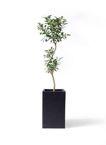 観葉植物 フランスゴムの木 8号 曲り セドナロング 墨 付き