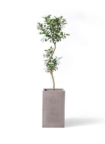 観葉植物 フランスゴムの木 8号 曲り セドナロング グレイ 付き