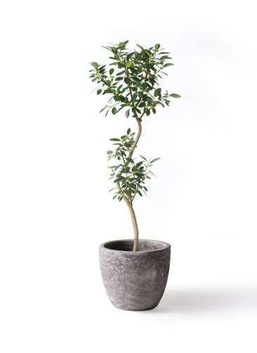 観葉植物 フランスゴムの木 8号 曲り アビスソニアミドル 灰 付き