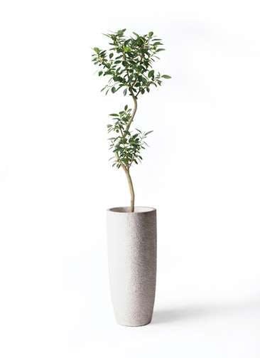 観葉植物 フランスゴムの木 8号 曲り エコストーントールタイプ white 付き