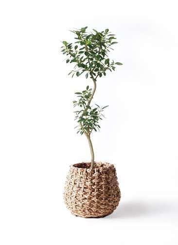 観葉植物 フランスゴムの木 8号 曲り ラッシュバスケット Natural 付き