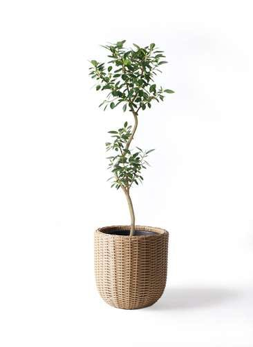 観葉植物 フランスゴムの木 8号 曲り ウィッカーポットエッグ ベージュ 付き