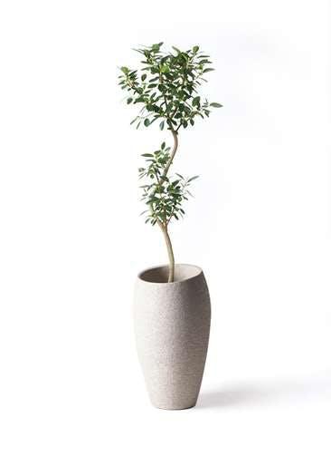 観葉植物 フランスゴムの木 8号 曲り エコストーントールタイプ Light Gray 付き
