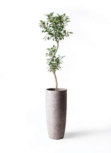 観葉植物 フランスゴムの木 8号 曲り エコストーントールタイプ Gray 付き