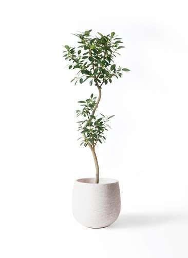 観葉植物 フランスゴムの木 8号 曲り エコストーンwhite 付き