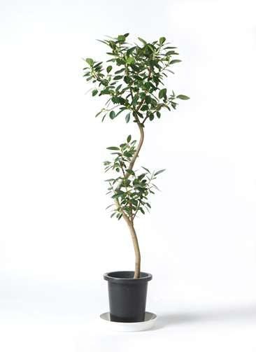 観葉植物 フランスゴムの木 8号 曲り プラスチック鉢