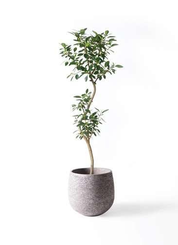 観葉植物 フランスゴムの木 8号 曲り エコストーンGray 付き