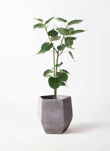 観葉植物 インドボダイジュ 8号 ファイバークレイ Gray 付き
