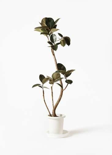 観葉植物 フィカス バーガンディ 8号 曲り プラスチック鉢