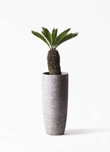 観葉植物 ソテツ 8号 エコストーントールタイプ Gray 付き