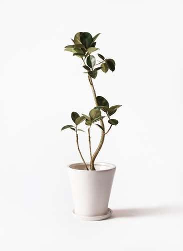 観葉植物 フィカス バーガンディ 8号 曲り サブリナ 白 付き